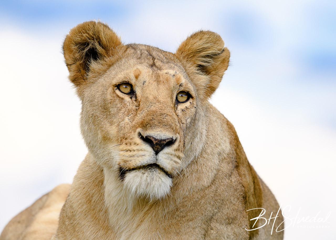 Lion close up 2