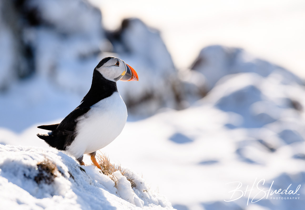 Puffin in snow