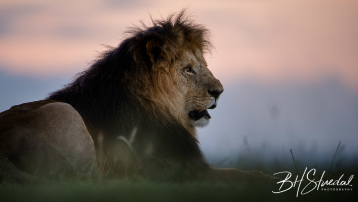 Mara lion sunrise