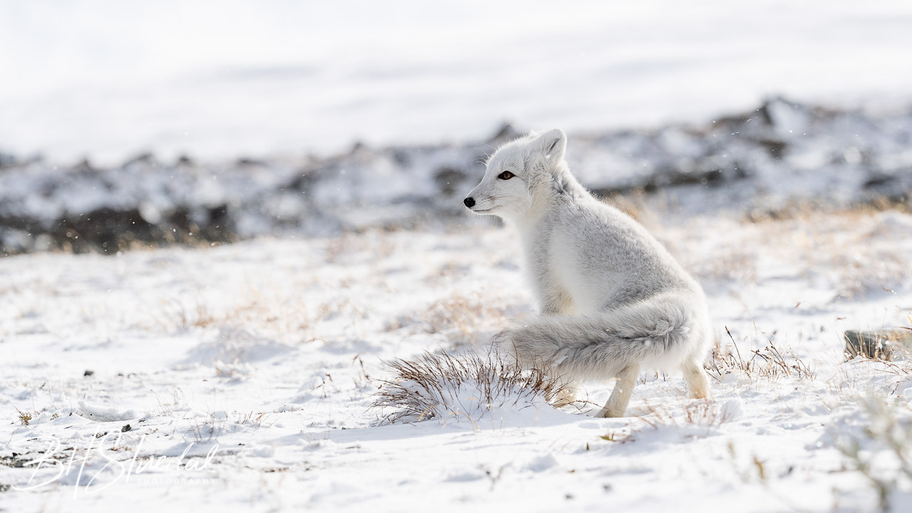 Arctic Fox Cub 3