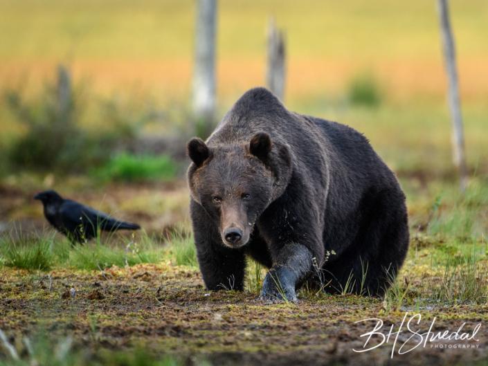 Brown bear coming