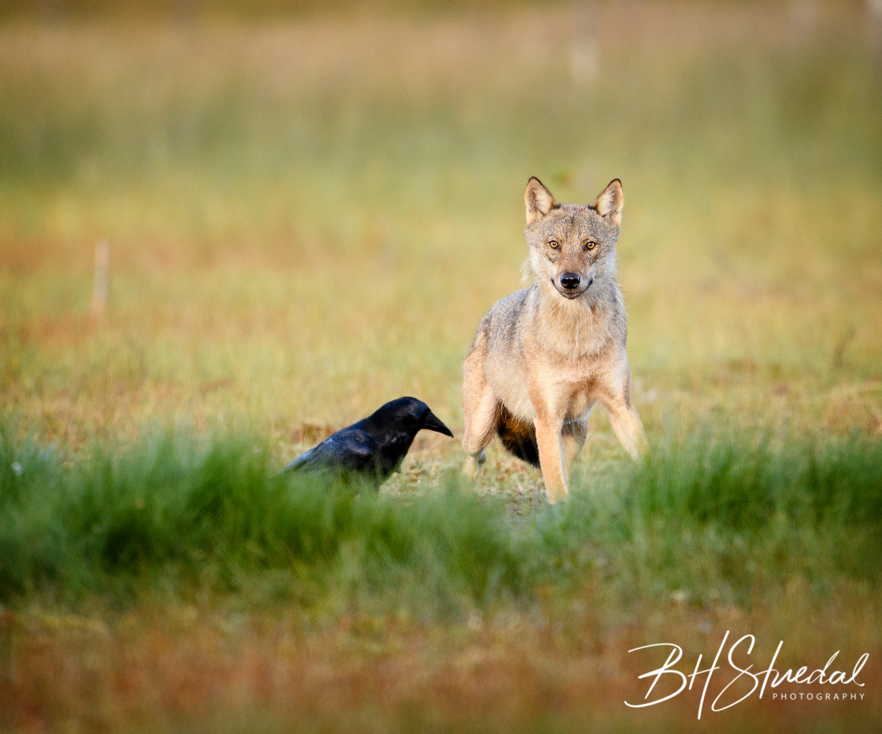 Nordic grey wolf