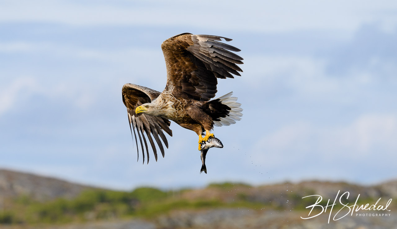White tailed eagle with catch 2