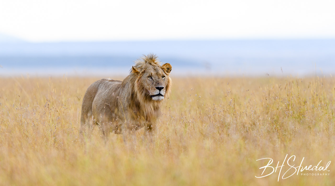Male Lion Hunting In Long Grass