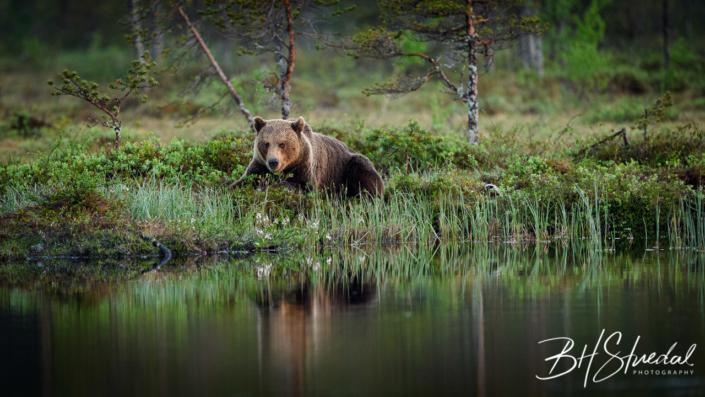 Bear by lake
