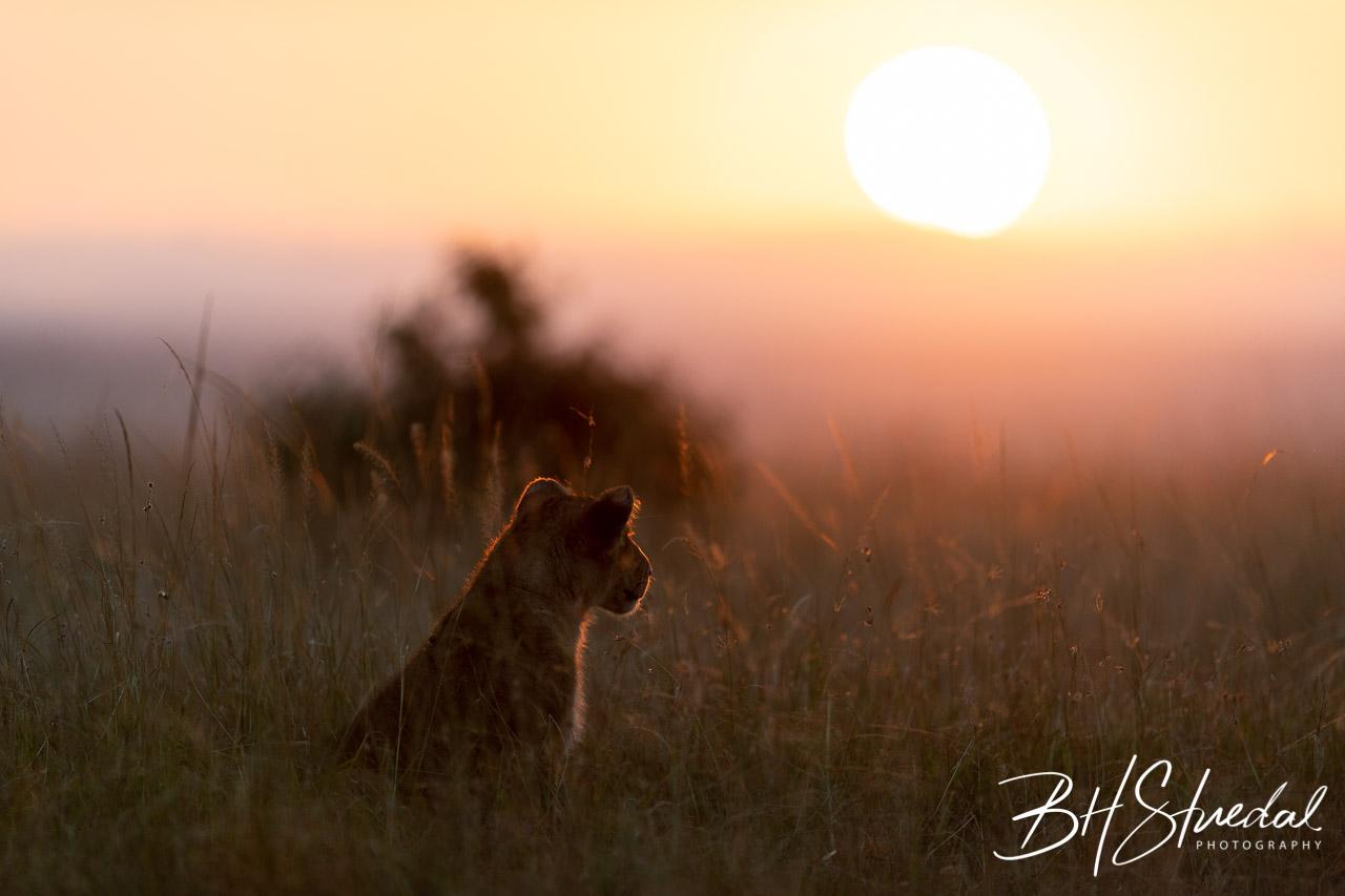 Lion Cub In Sunrise