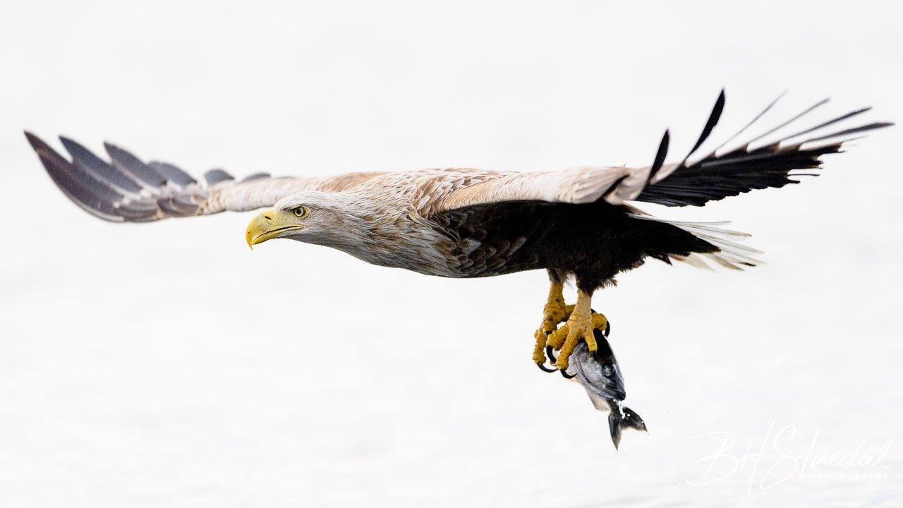 White tailed eagle with catch