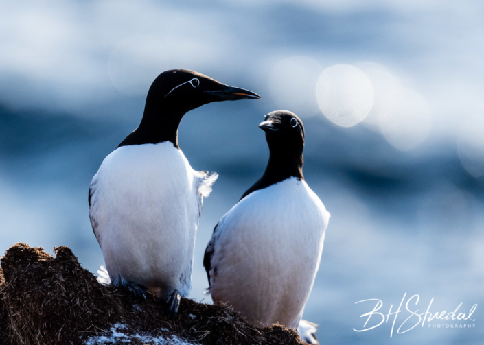Common murre in sunset