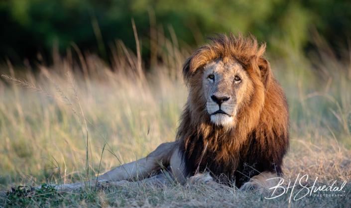 Old lion resting
