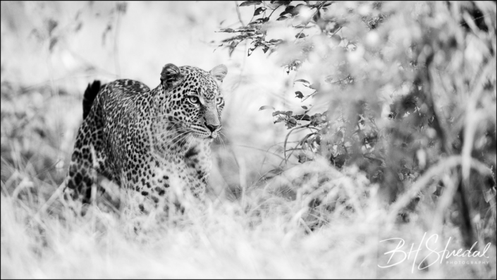 Young leopard hunting