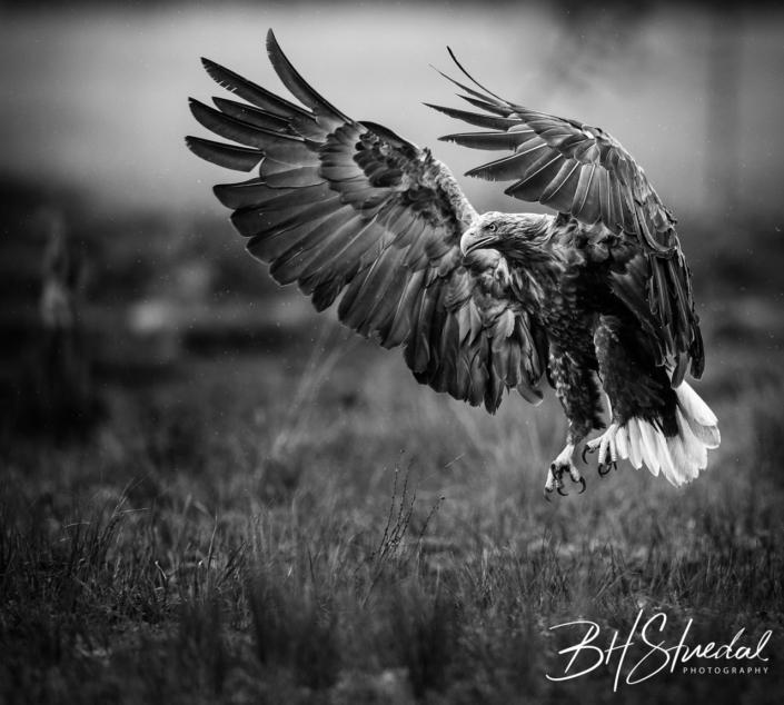 Eagle in Black&White