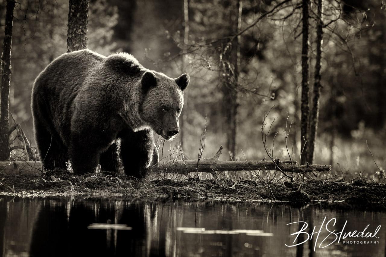 Bear in monochrome