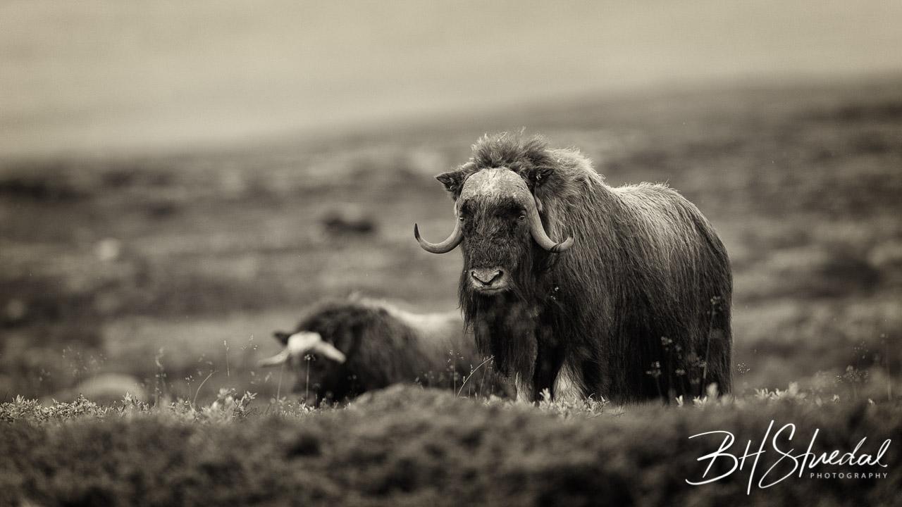 Musk ox in Black&White