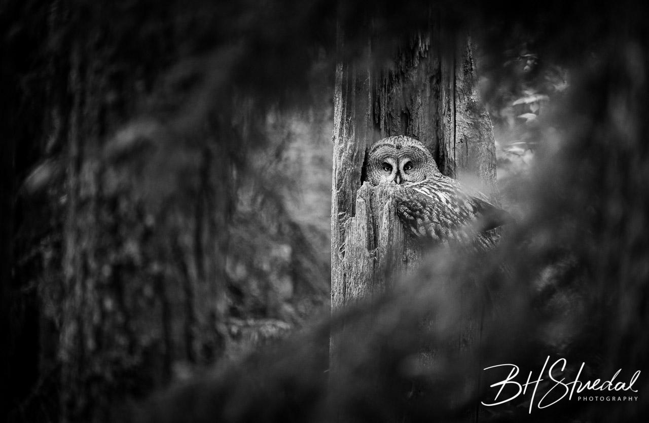 Great grey owl on nest