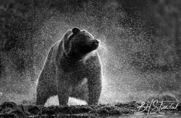 Shaking bear