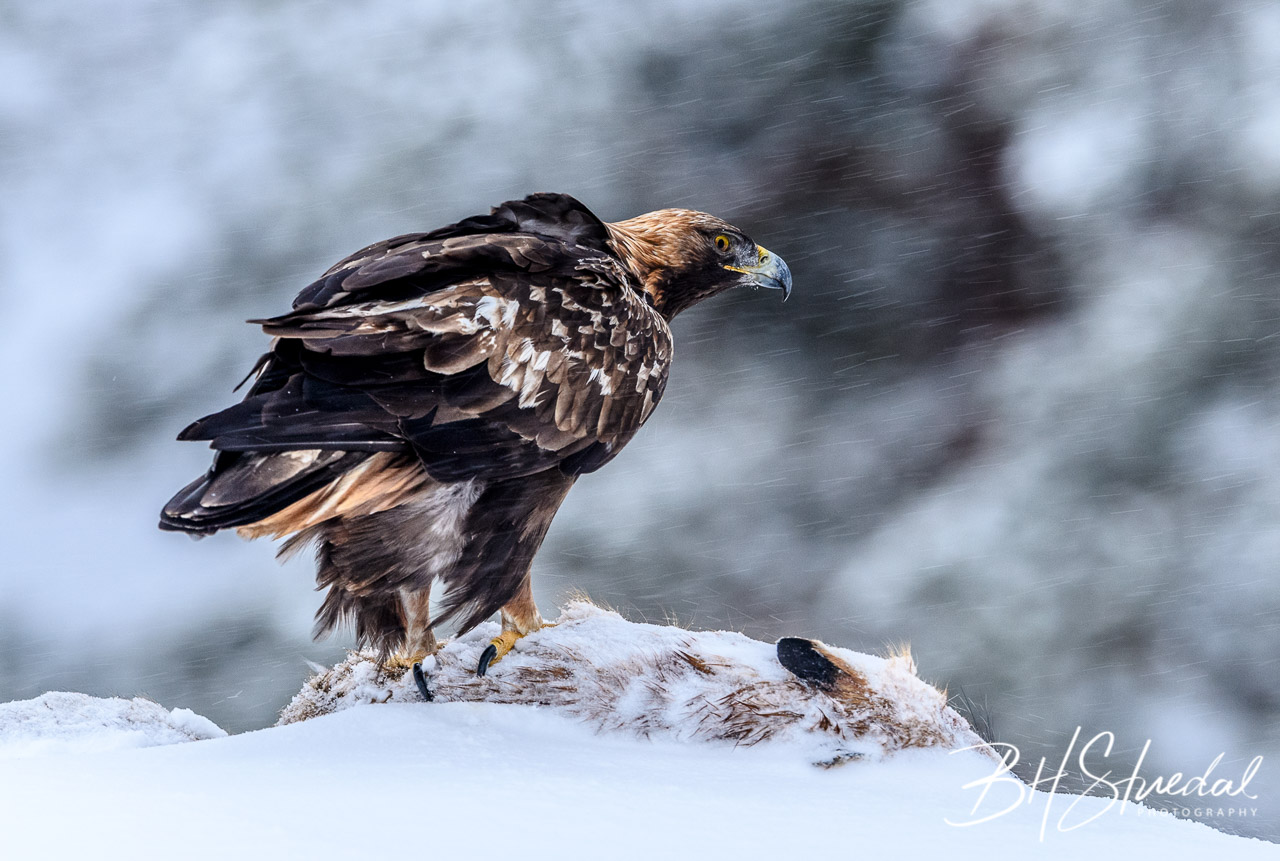 Eagle and prey 2