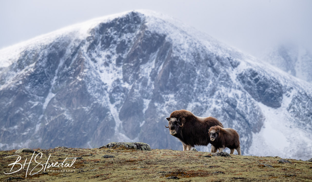 Musk Ox With Calf In Autumn Landscape