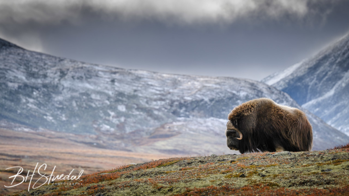 Old musk ox