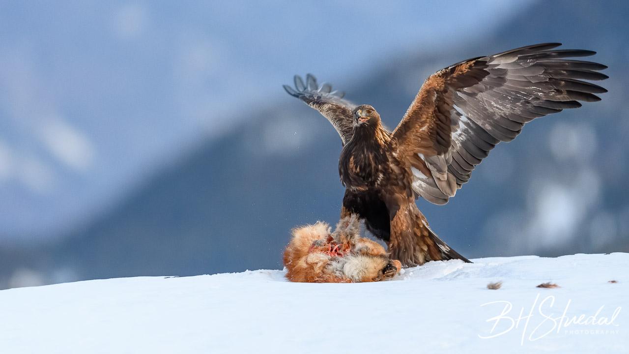 Golden eagle with prey, Tokke