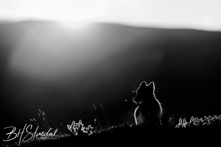 Arctic fox morning silhouette
