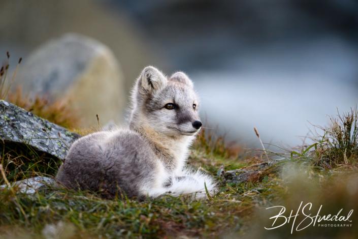 Wild Arctic Fox Cub