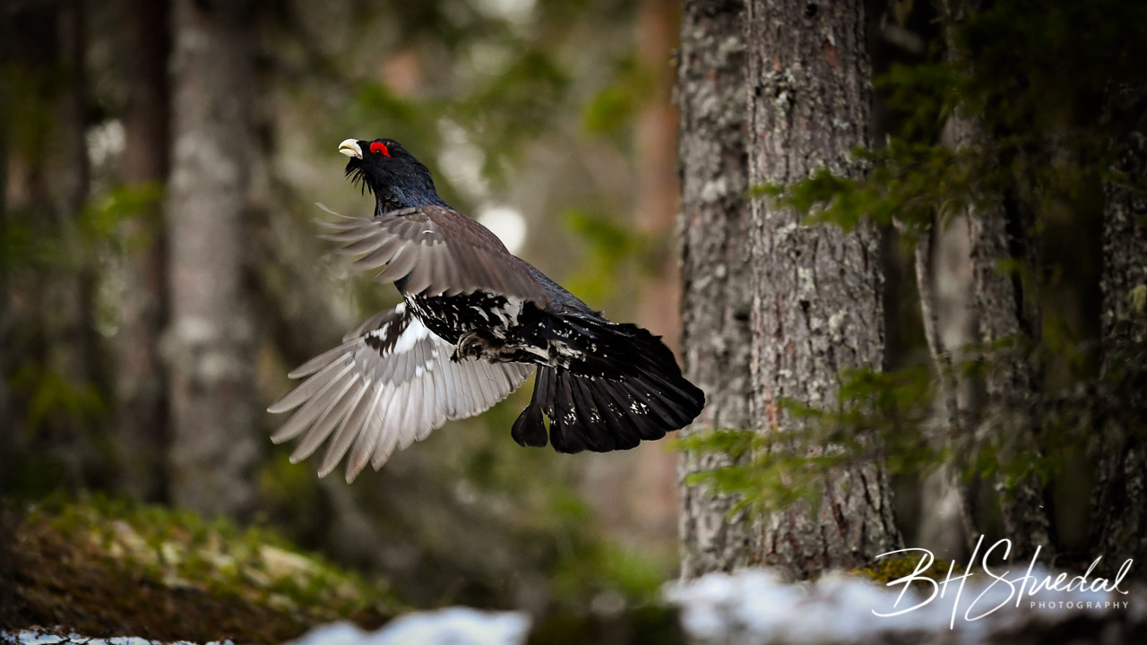 Western Capercaillie Wood Grouse At Lek